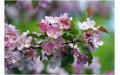 Яблоня (цвет, 35 гр)